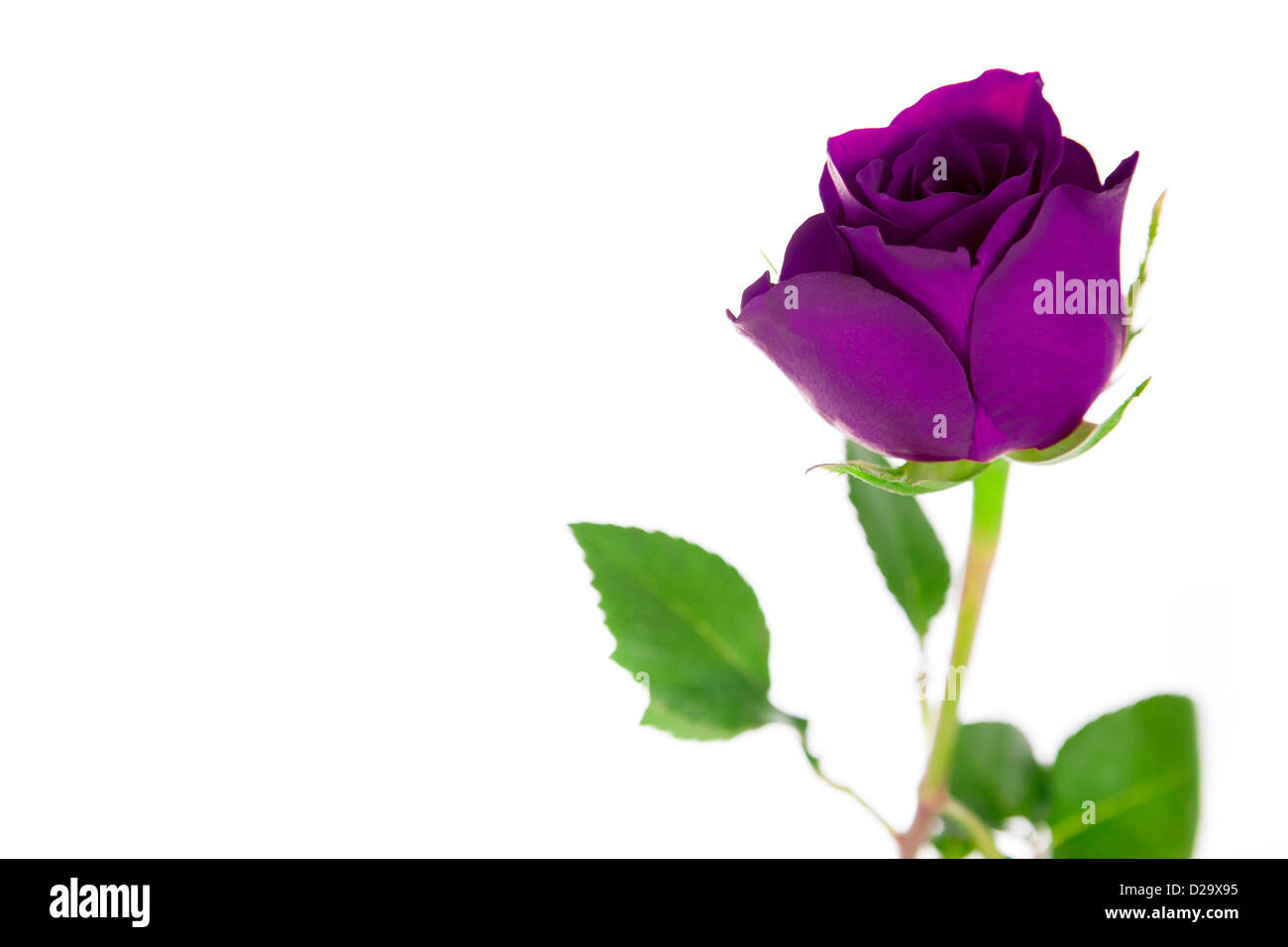 A Single Purple Rose On White Background
