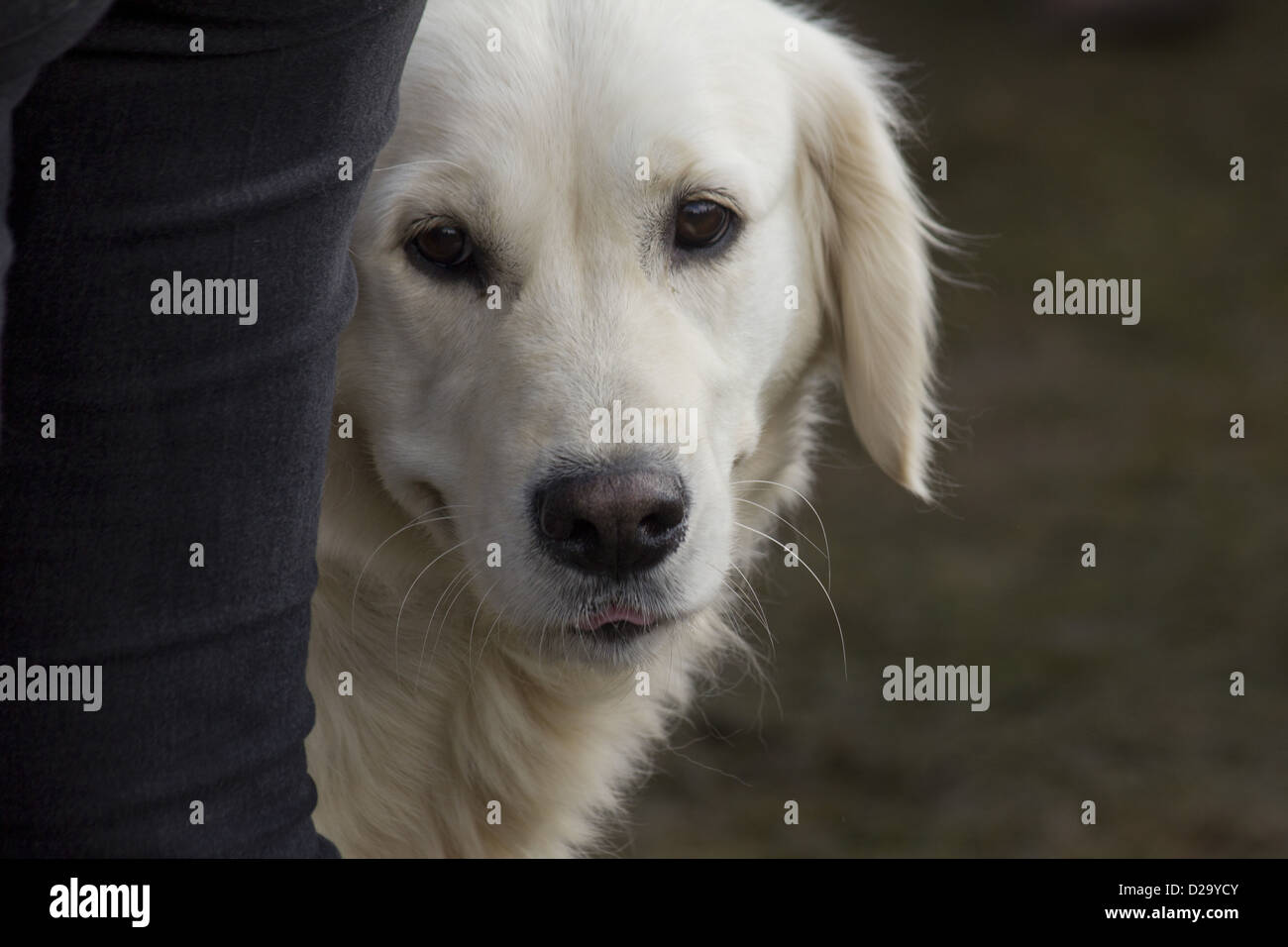 Golden labrador retriever peeping out behind its owners leg - Stock Image