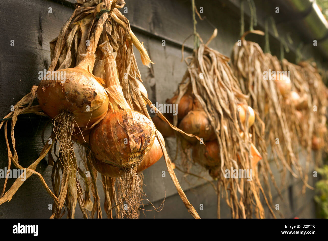 String of Onions hanging against the side of a shed - Stock Image
