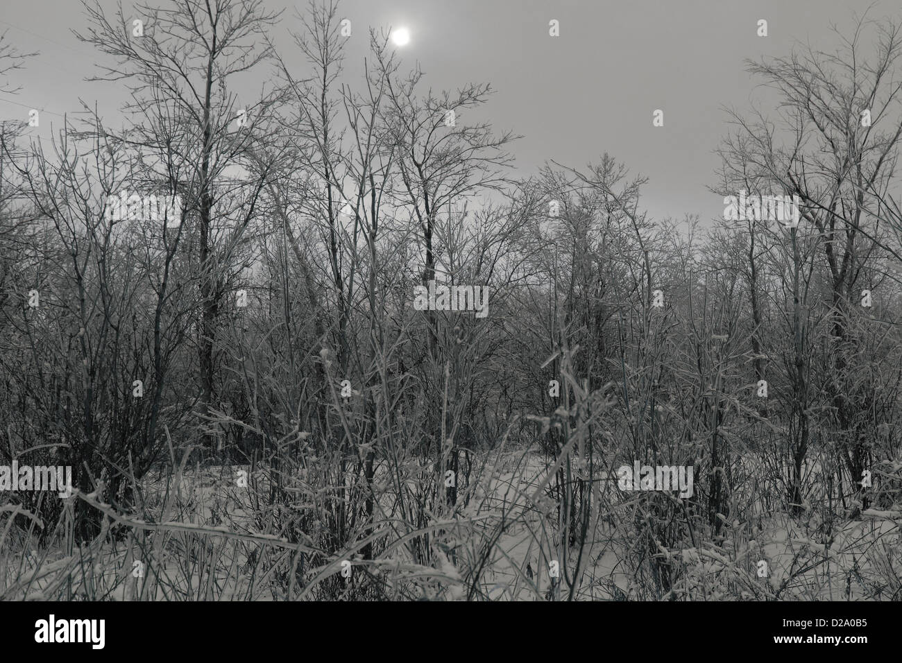 frosty forest and smog in winter. A gray day. - Stock Image