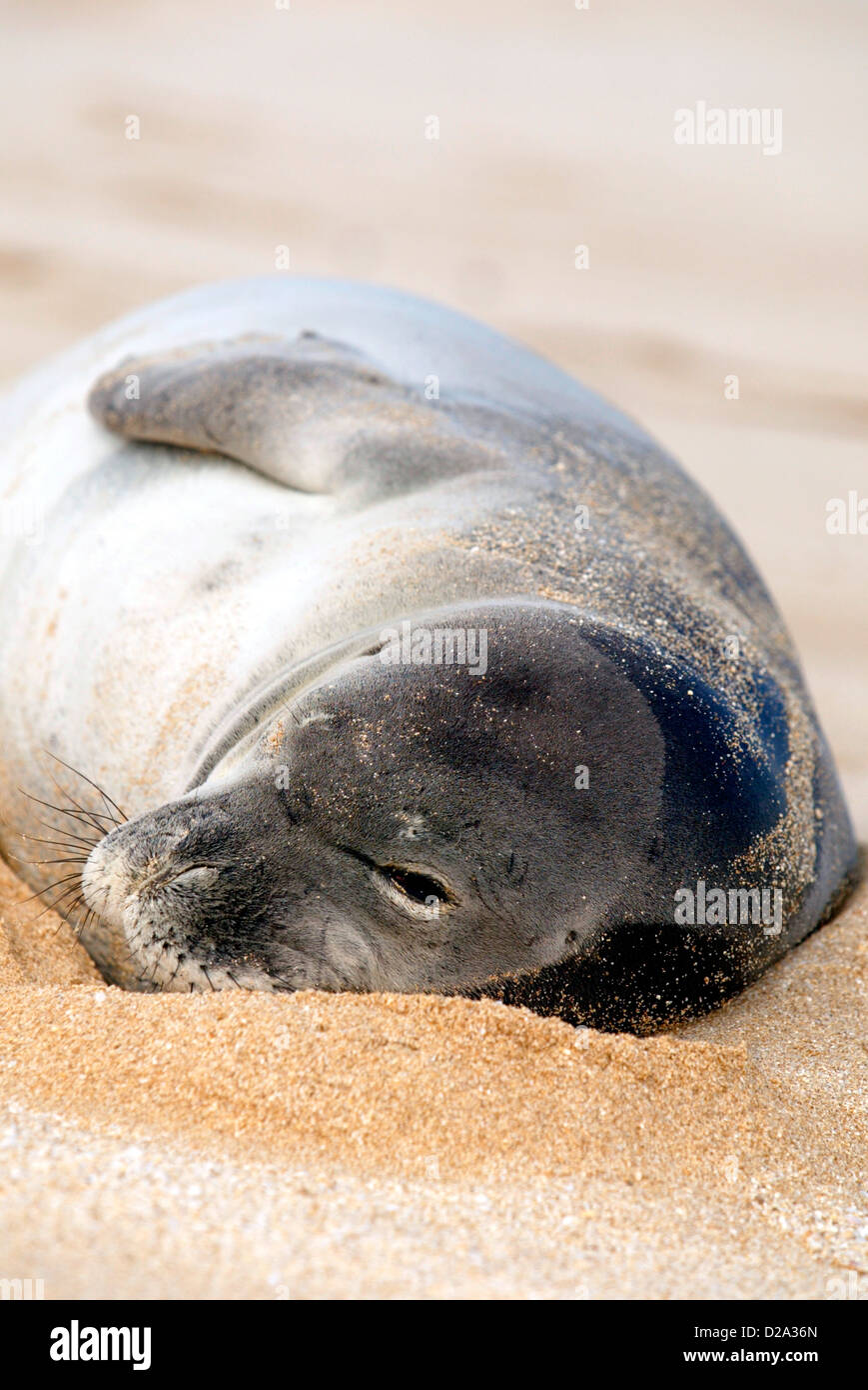 Hawaii, Sunset Beach. Endangered Monk Seal Napping - Stock Image