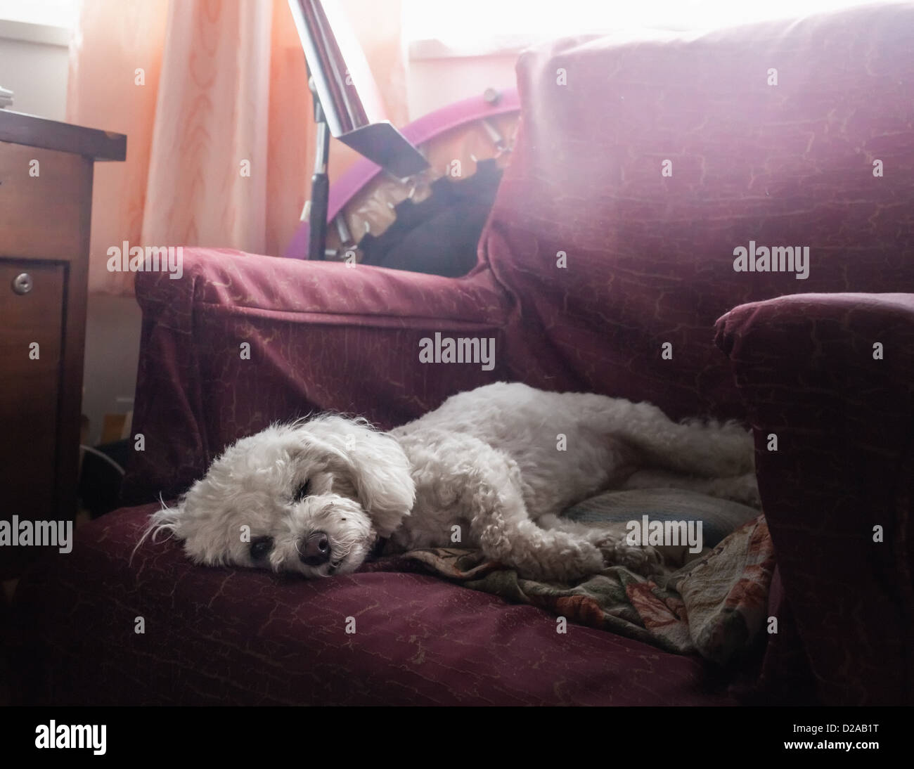 Dog sleeping in armchair - Stock Image