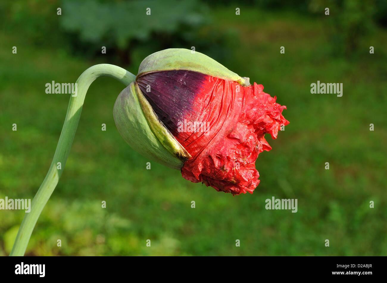 Poppy Or Opium Poppy Papaver Somniferum Button Of The Flower