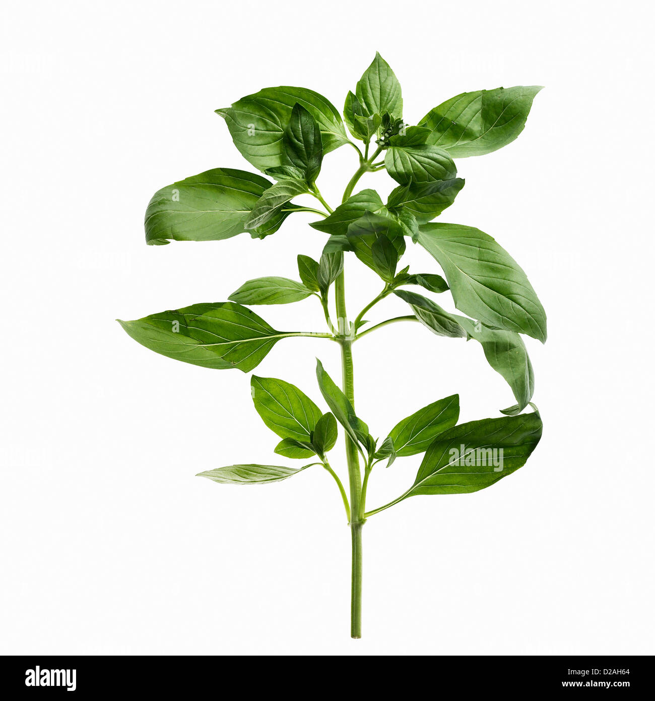 Close up of sprig of herbs - Stock Image