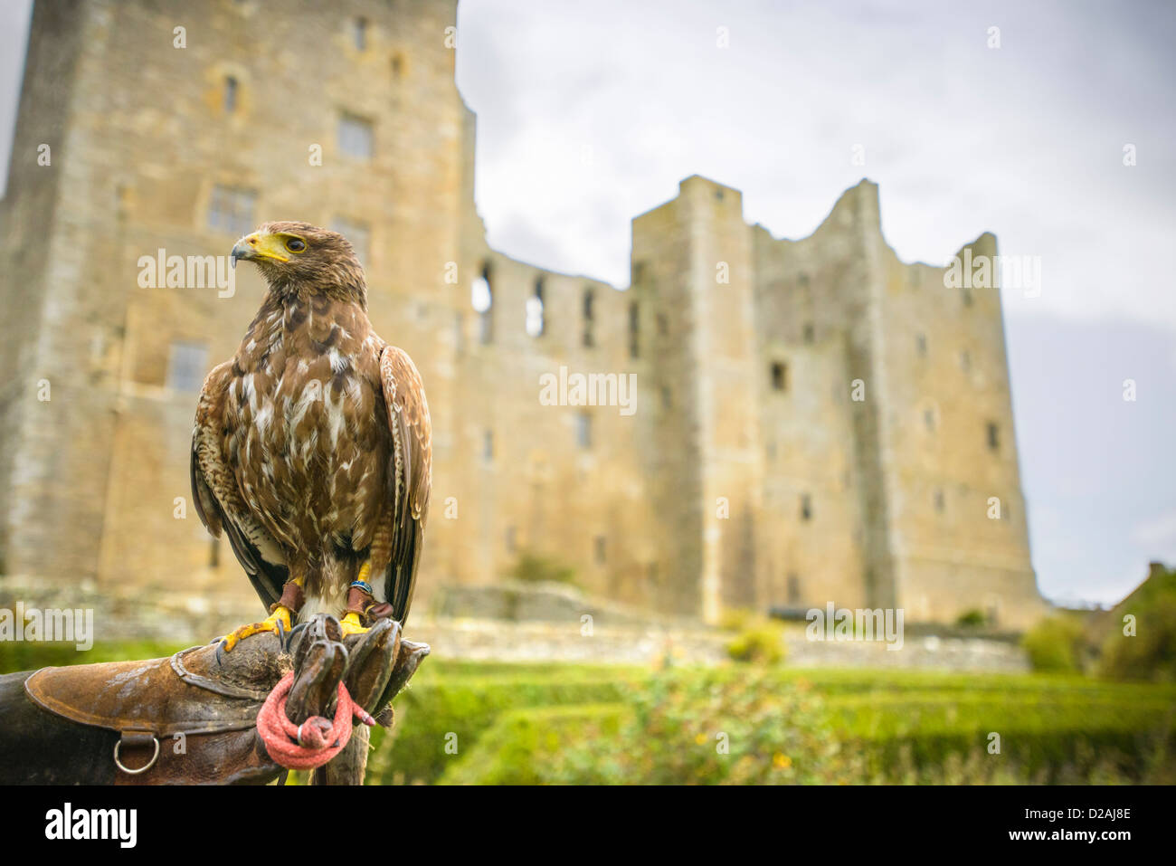 Hawk perched on trainers gauntlet - Stock Image
