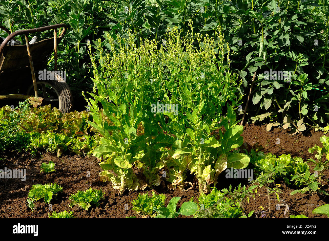 Lettuce at the end of maturity (variety : 'Val d'Orge'), broad beans in the background. - Stock Image