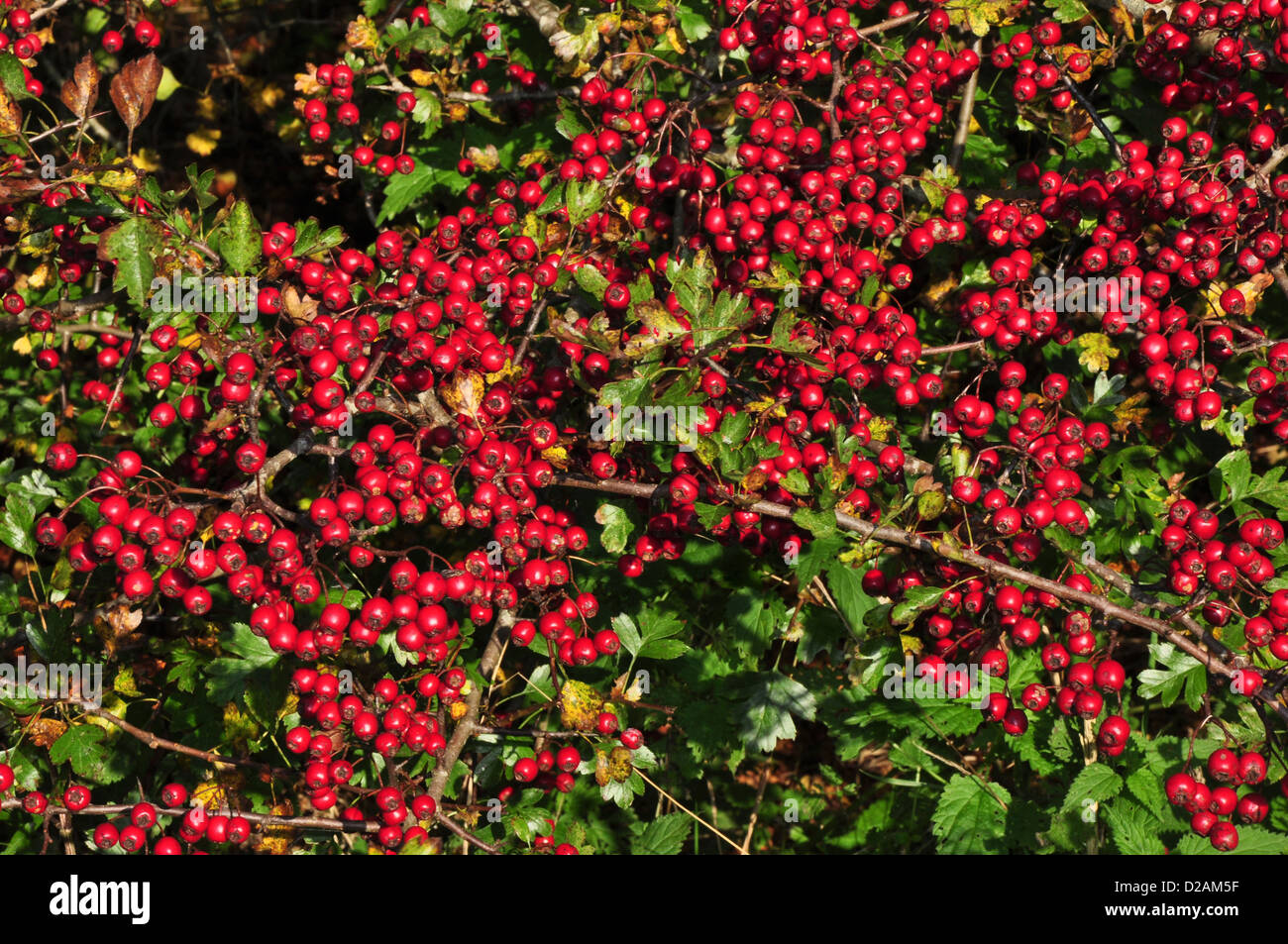 Red hawthorn berries in Autumn UK - Stock Image