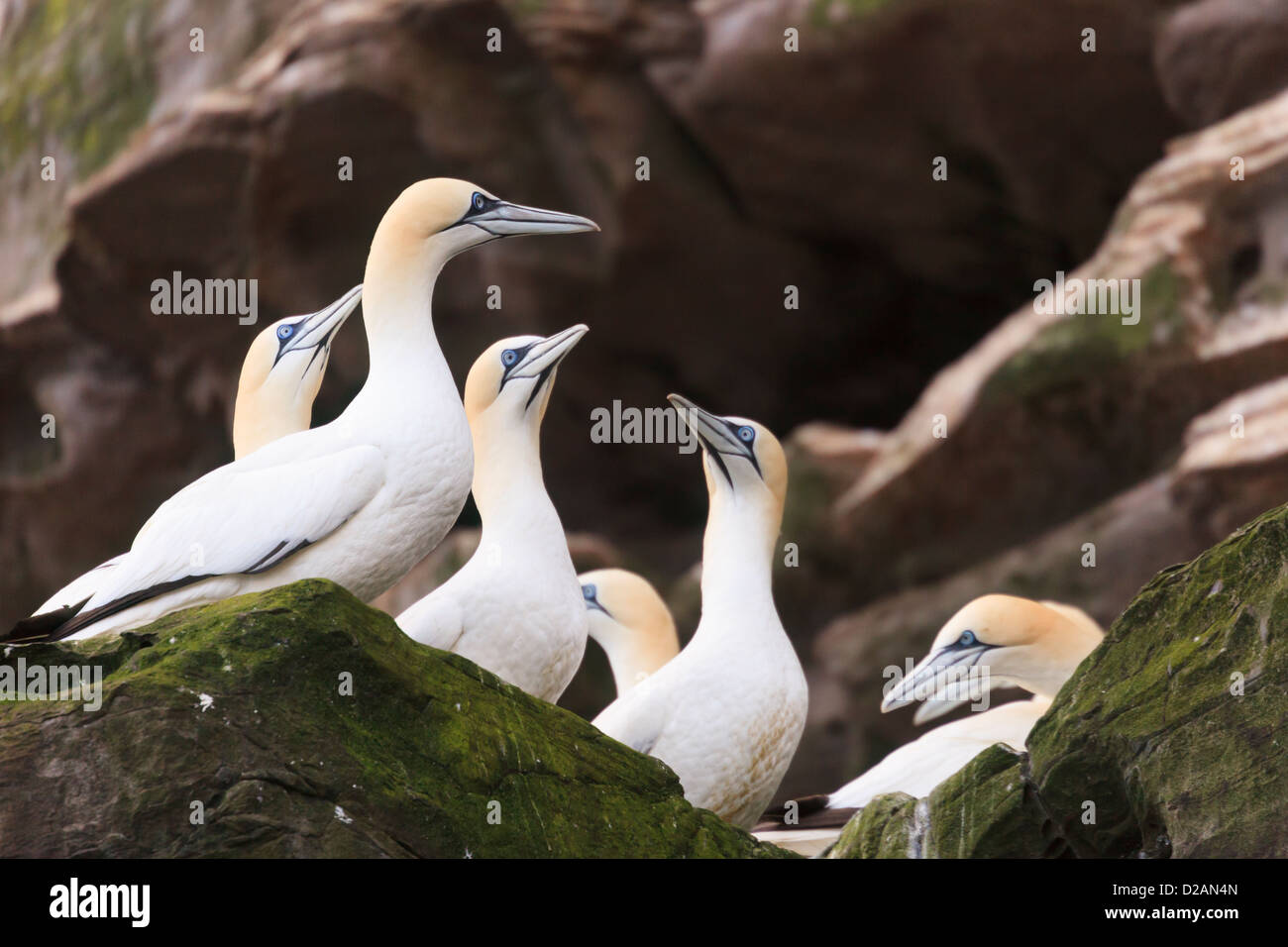 Northern Gannets birds nesting on rocky seacliffs on Isle of Noss National Nature Reserve during summer breeding - Stock Image