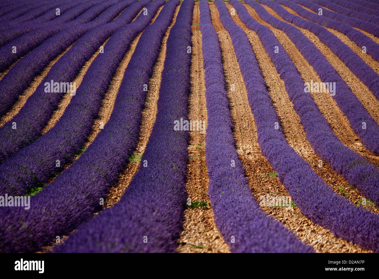 Rows of purple flowers in field - Stock Image