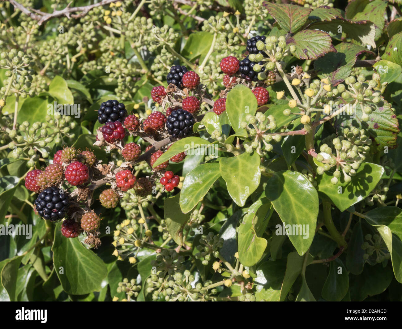 Where To Buy Blackberry Bushes