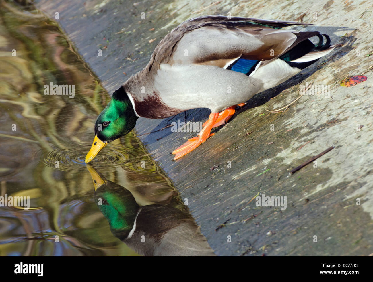 Male Mallard duck (Anas platyrhynchos) climbing down a steep bank and looking at his reflection in water. - Stock Image