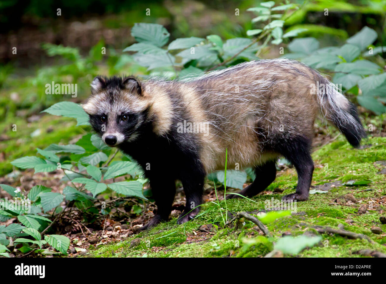 raccoon dog nyctereutes procyonoides invasive species in germany stock photo 53097842 alamy. Black Bedroom Furniture Sets. Home Design Ideas