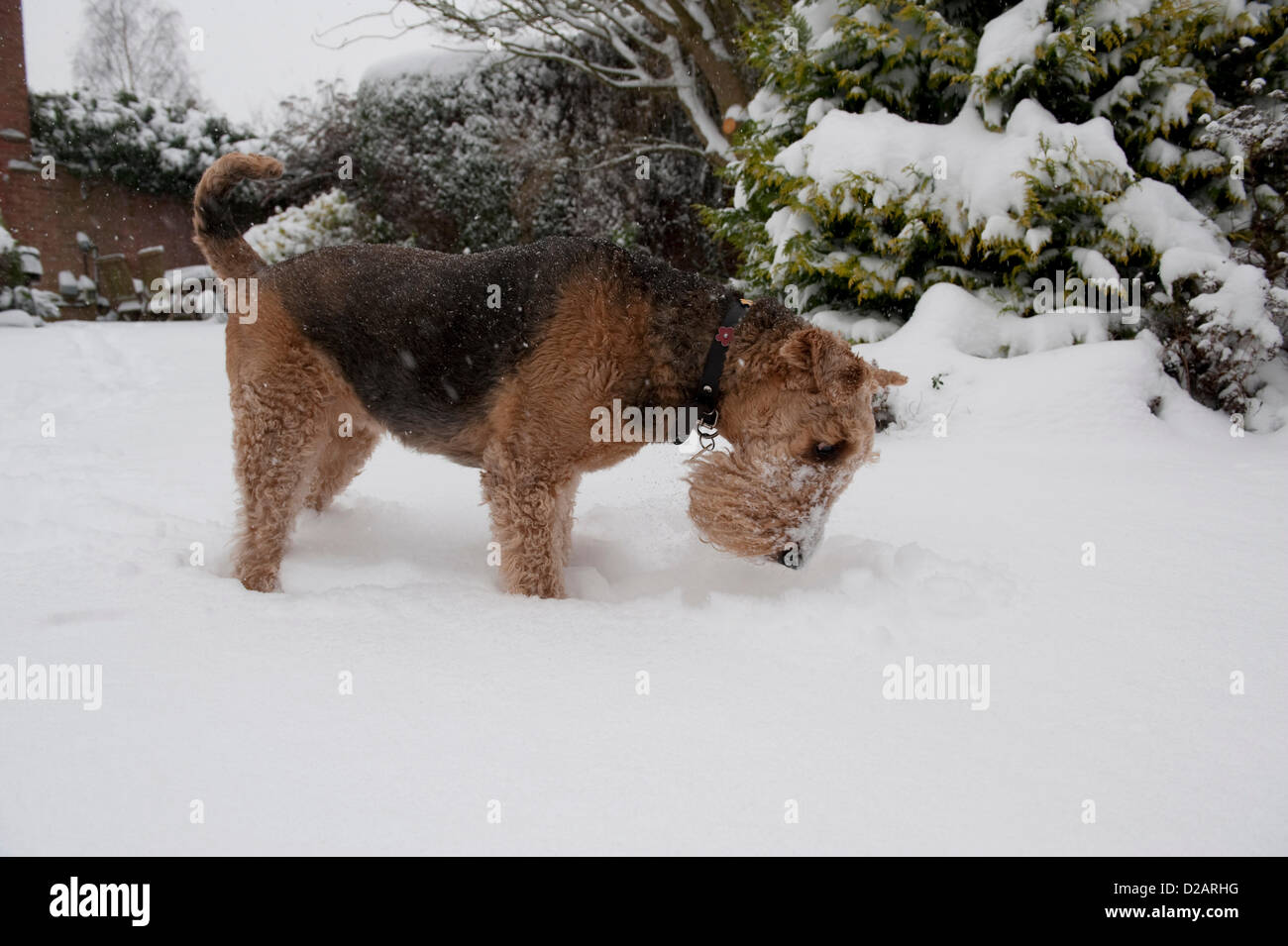 LICHFIELD, STAFFORDSHIRE, UK. 18TH JANUARY 2013. An Airedale Terrier called Daisy plays in the deep snow, sniffing - Stock Image
