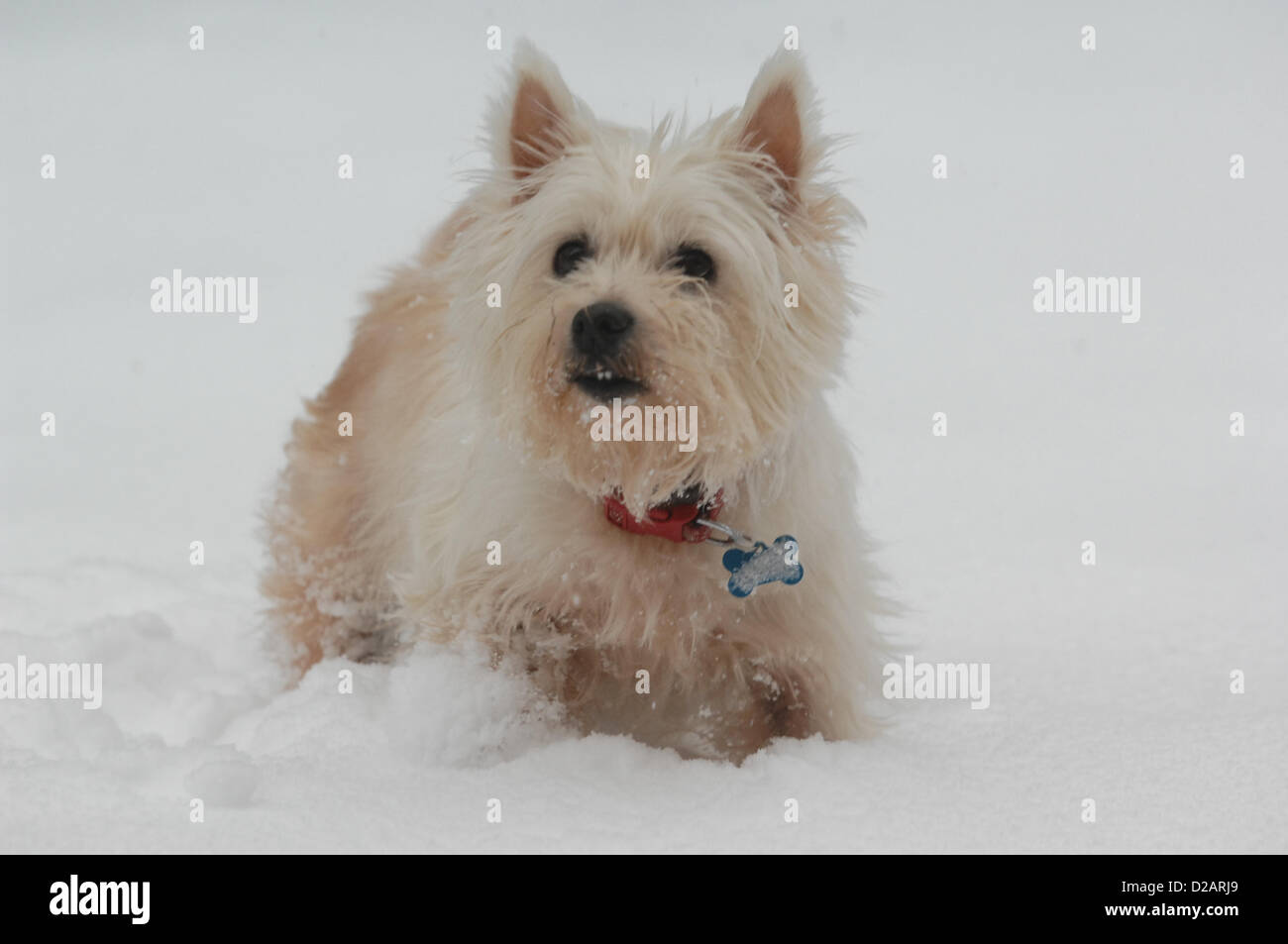 18th January 2012. A West Highland Terrier enjoys herself in the snow in the park in Hereford. Mark Andrews/Alamy - Stock Image