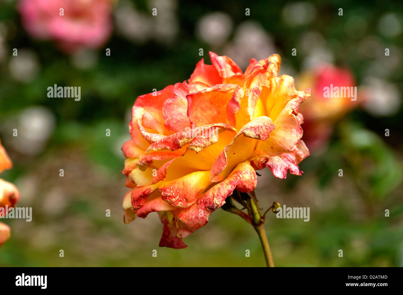 Rose Philippe Noiret, rosa (Breed by Meilland 1998, France), flower at the end of maturity, faded, in june. - Stock Image