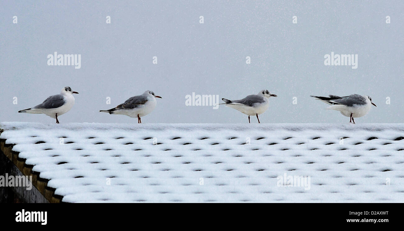 Black headed gulls keep warm on a house roof during a snowstorm at Rothwell, Northants., UK. 18th January 2013. - Stock Image