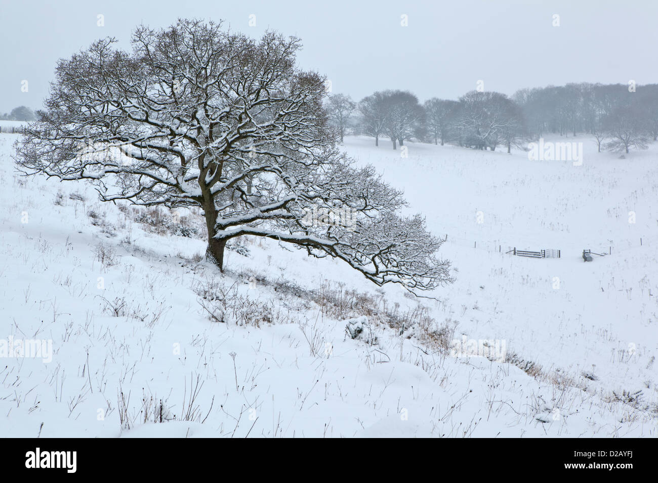 Friday January 18th 2013, snow falling for most of the day has covered the Wiltshire downland with a blanket of - Stock Image