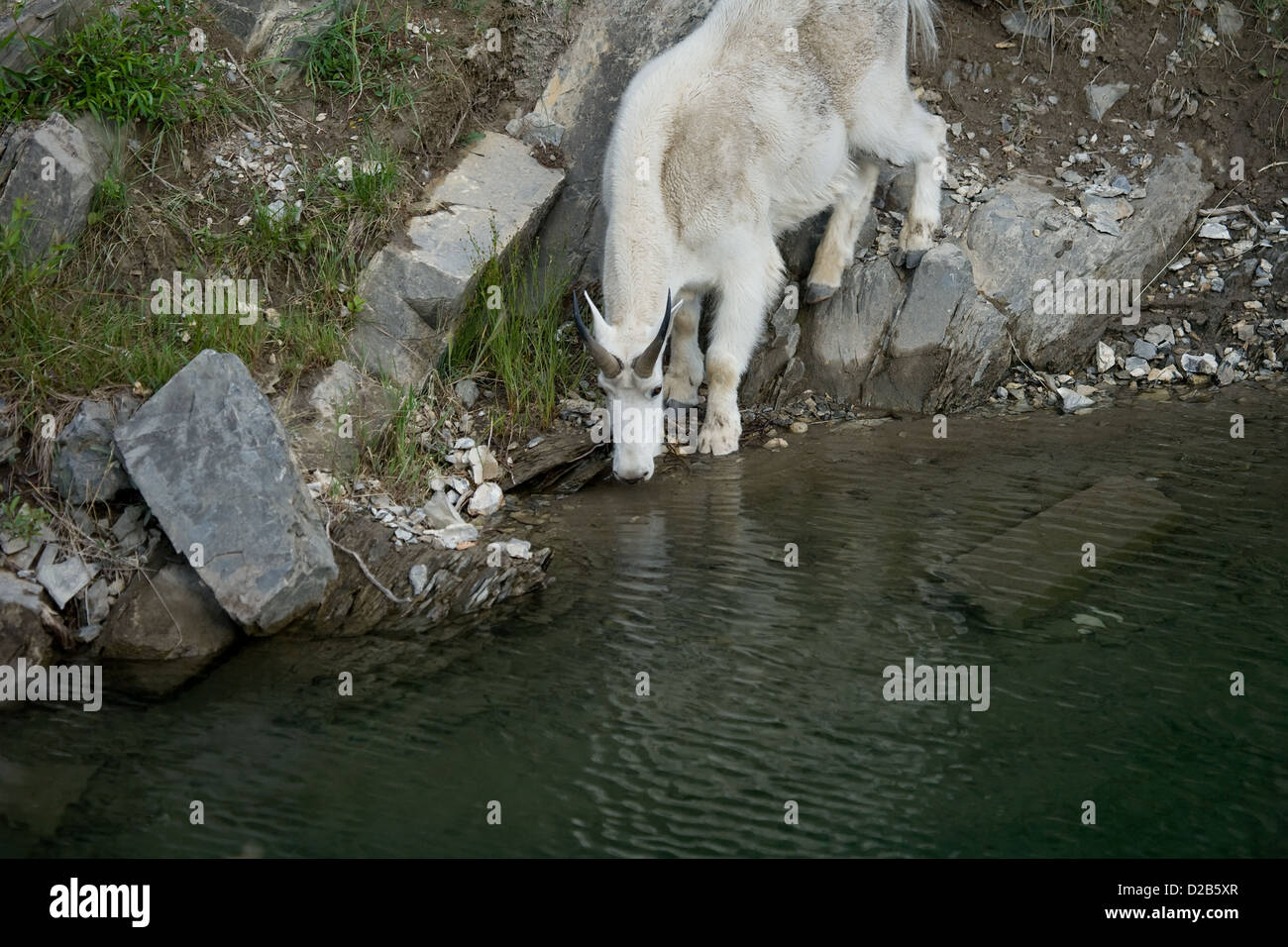 goat drinking stock photos goat drinking stock images alamy
