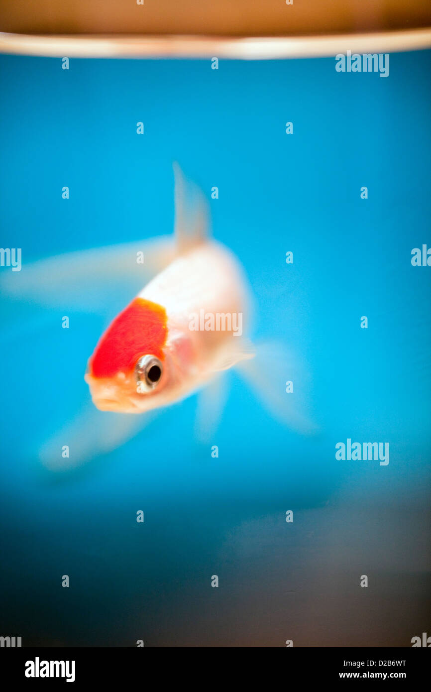 Vannes, France, a Red Cap Oranda goldfish in a fishbowl Stock Photo