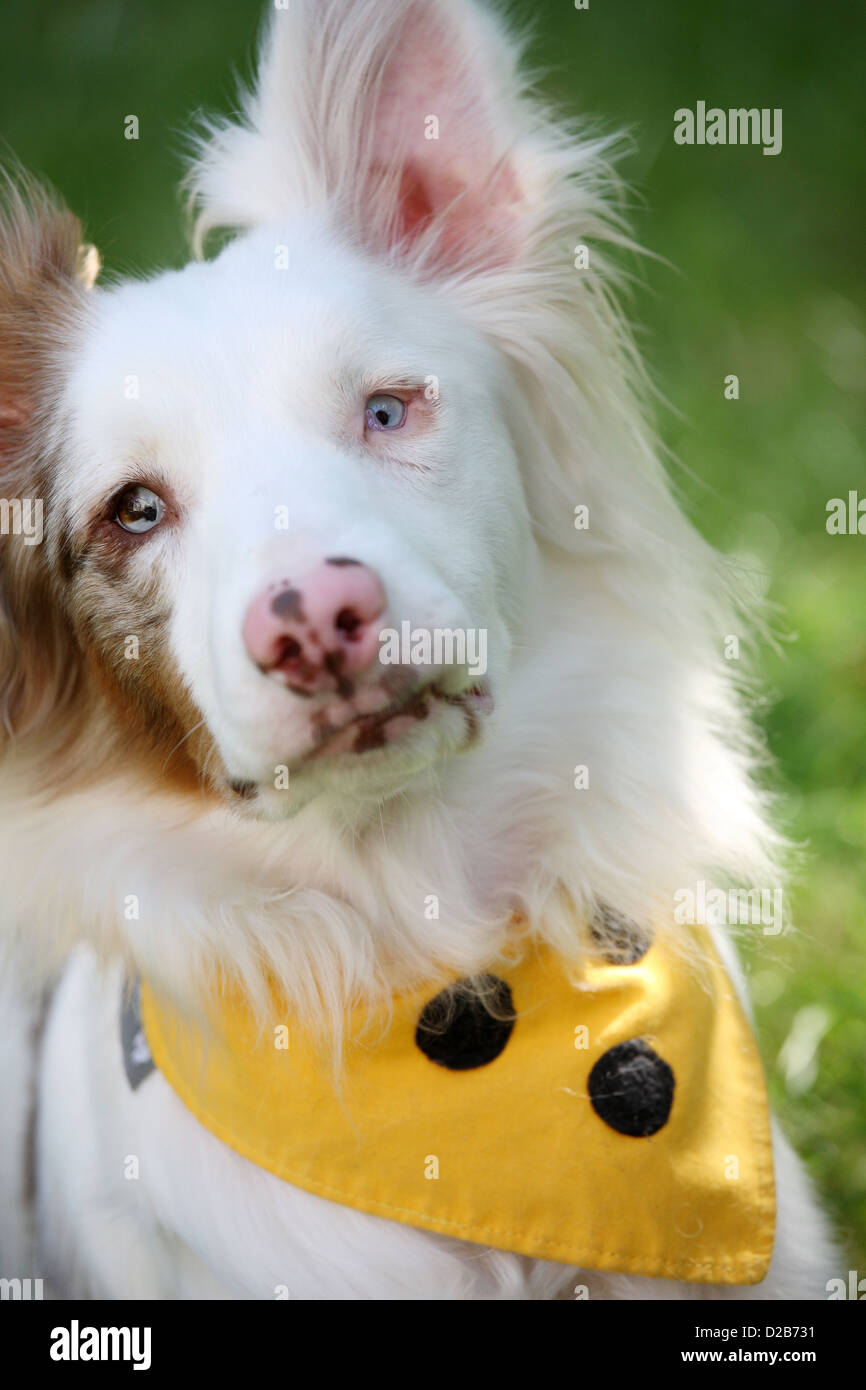 Berlin, Germany, Sky, an Australian Shepherd - Aussie - is blind and deaf on one side - Stock Image