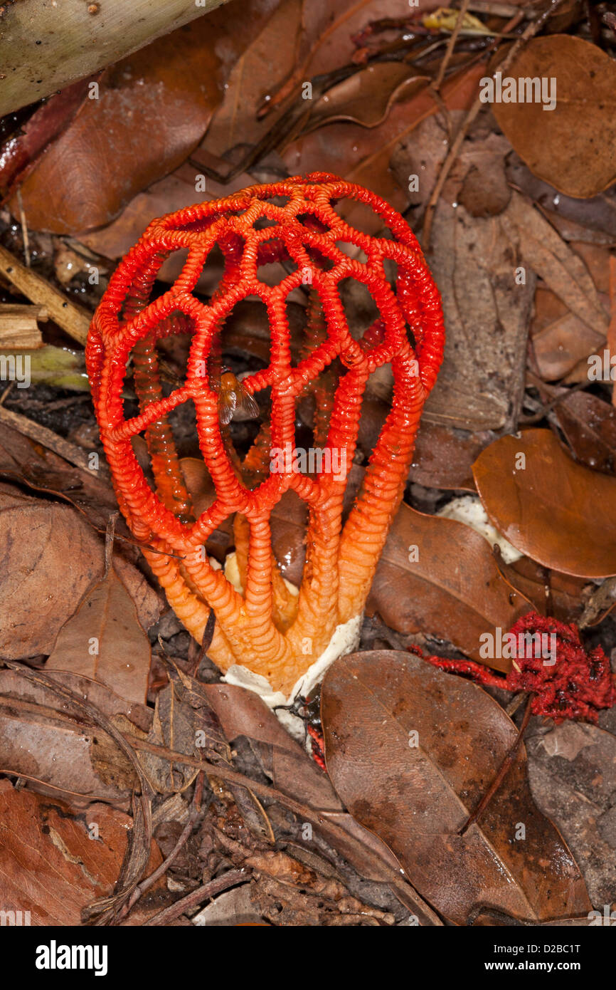 Beautiful bright red stinkhorn / craypot fungus -  Colus pusillus growing among fallen leaves in forest / woodland Stock Photo
