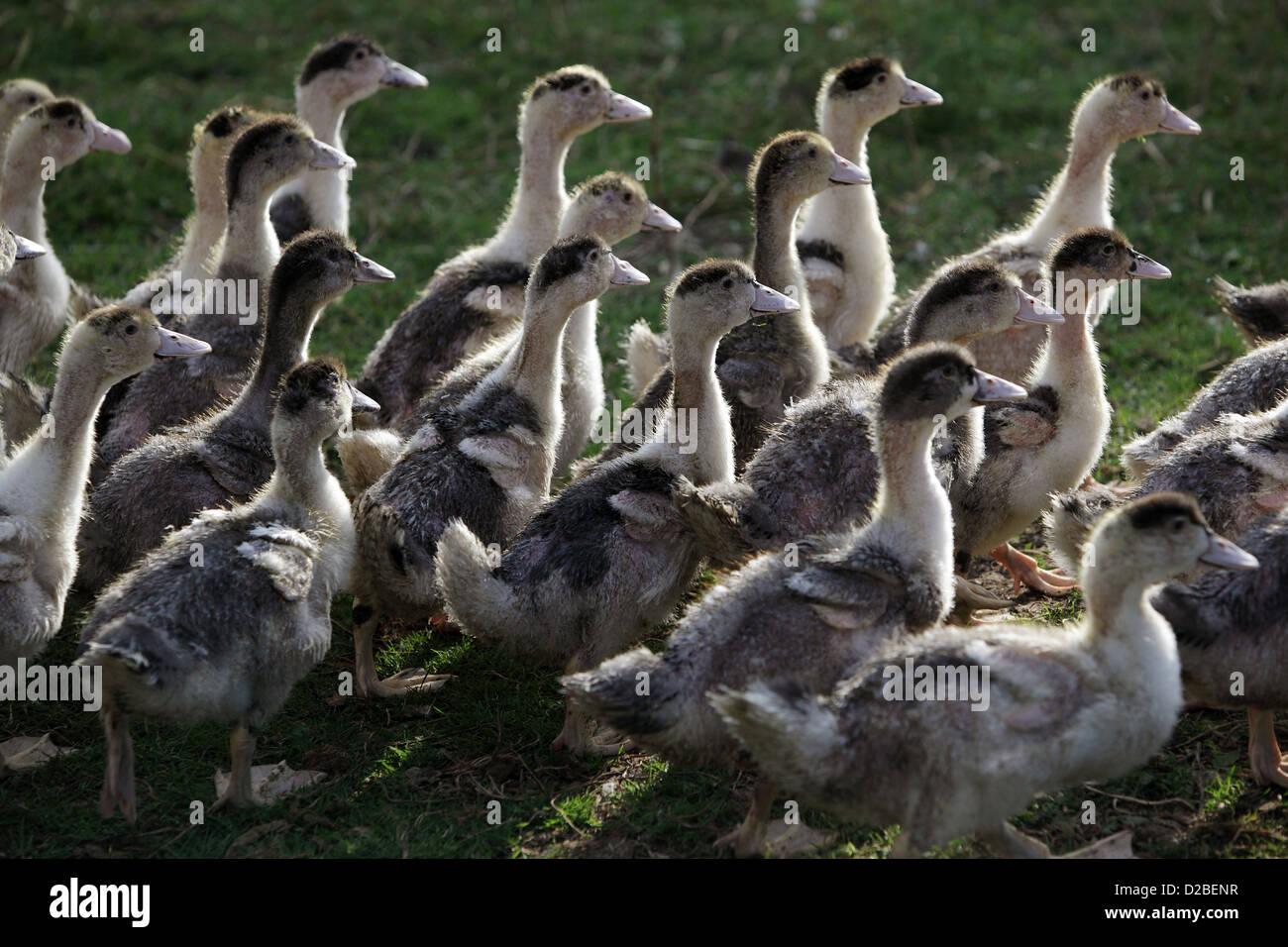 Resplendent village, Germany, Pomerania young ducks - Stock Image