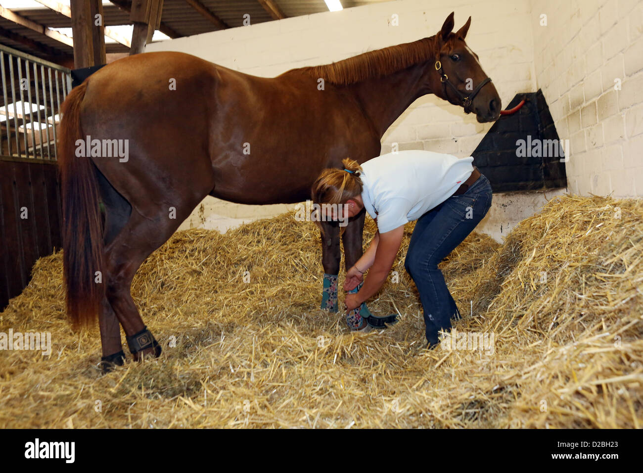 Ascheberg, Germany, Pferdewirtin bandaged the legs of a horse - Stock Image