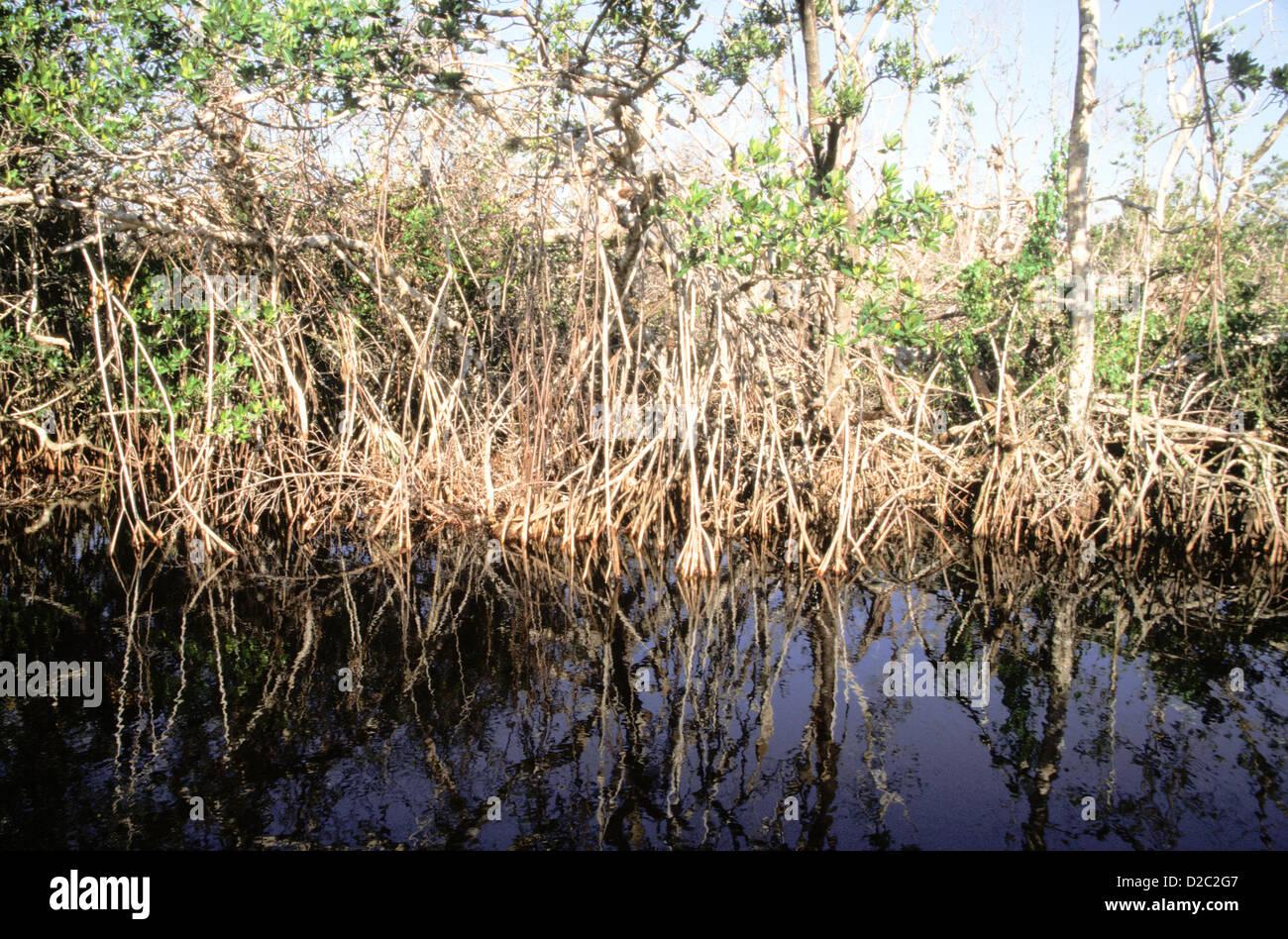 Florida. Ding Darling National Wildlife Refuge. Mangrove Forest. - Stock Image
