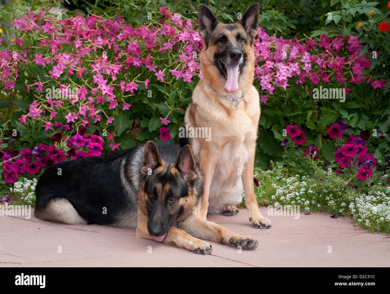 Two German Shepherd Dogs-one sitting and other lying down - Stock Image