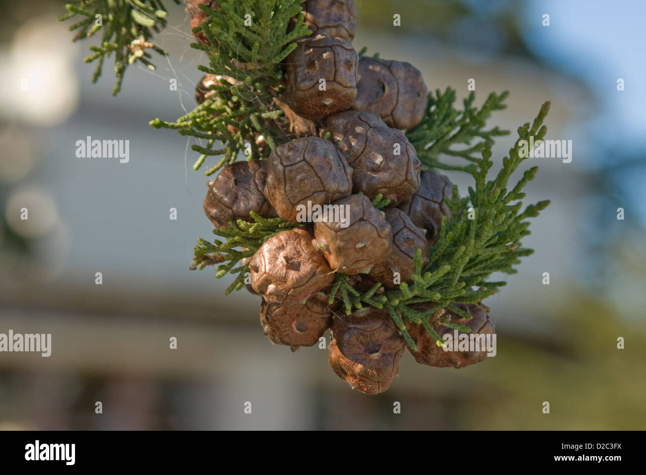 New pine cones growing on a Monterey Cypress Tree in Seaside, California - Stock Image