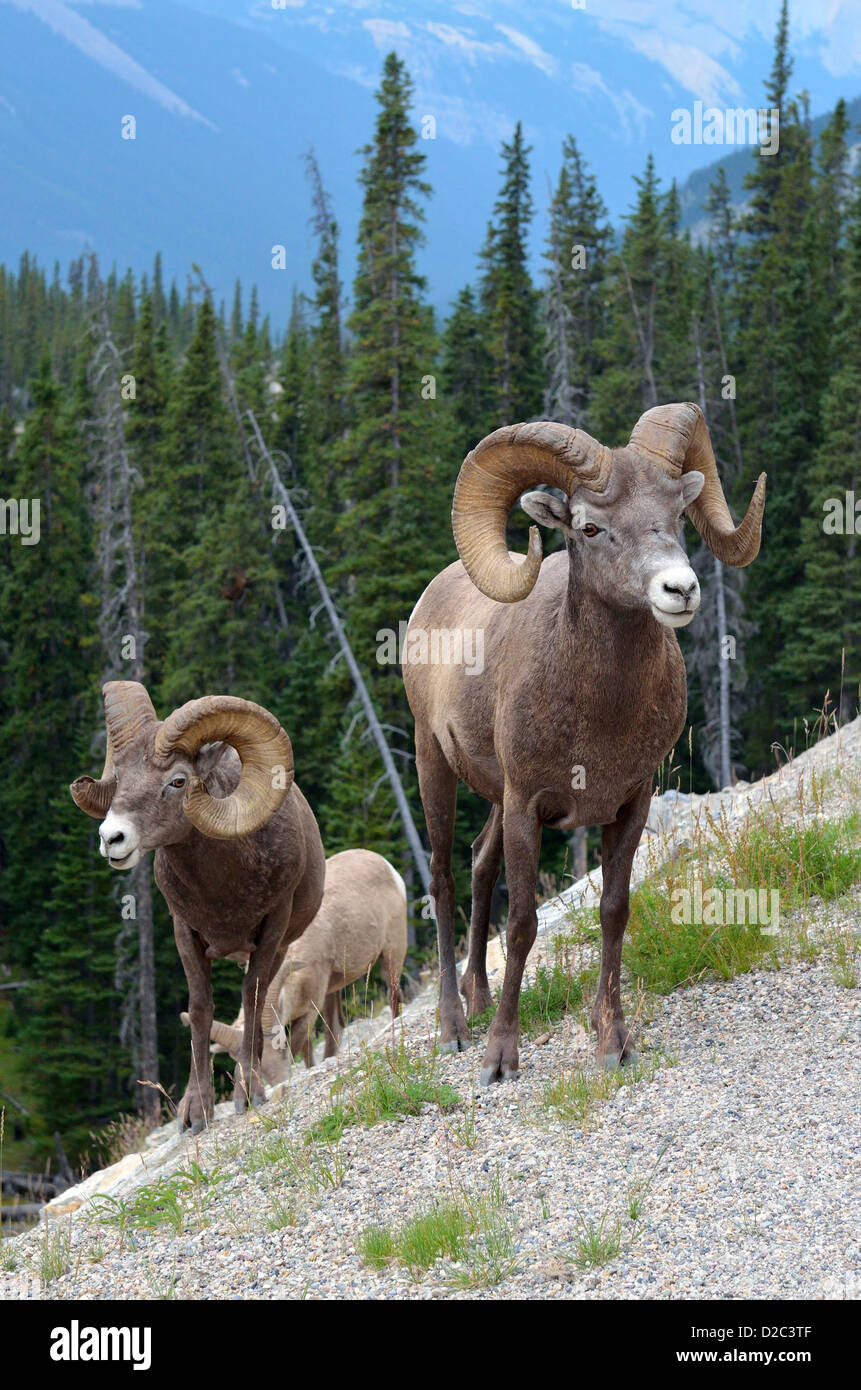 Bighorn sheep in Canadian Rockies. - Stock Image
