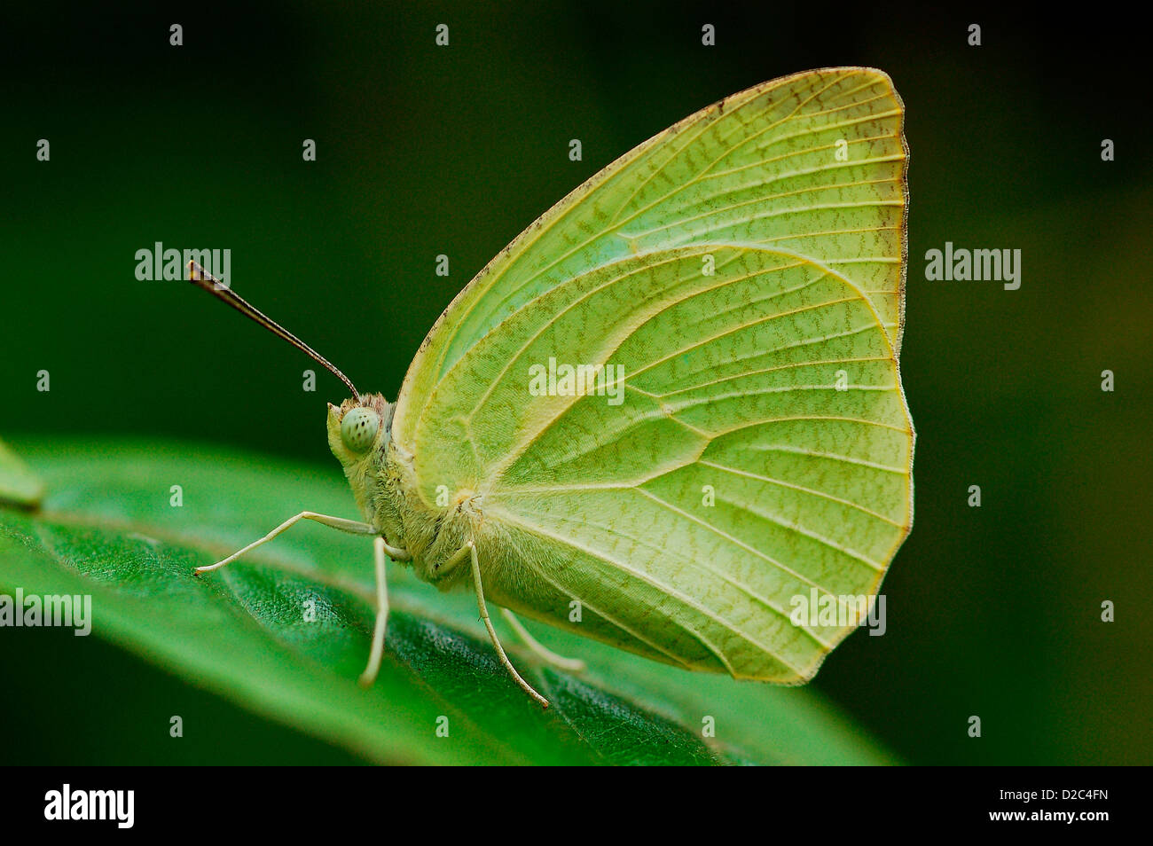 Butterfly, Mottled Emigrant - Stock Image