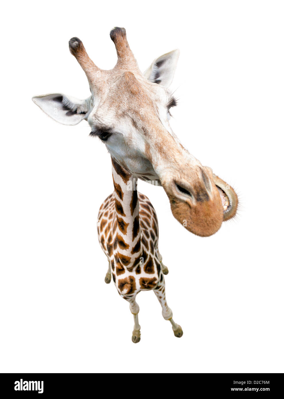Giraffe closeup portrait isolated on white. Top view wide lens shot. - Stock Image