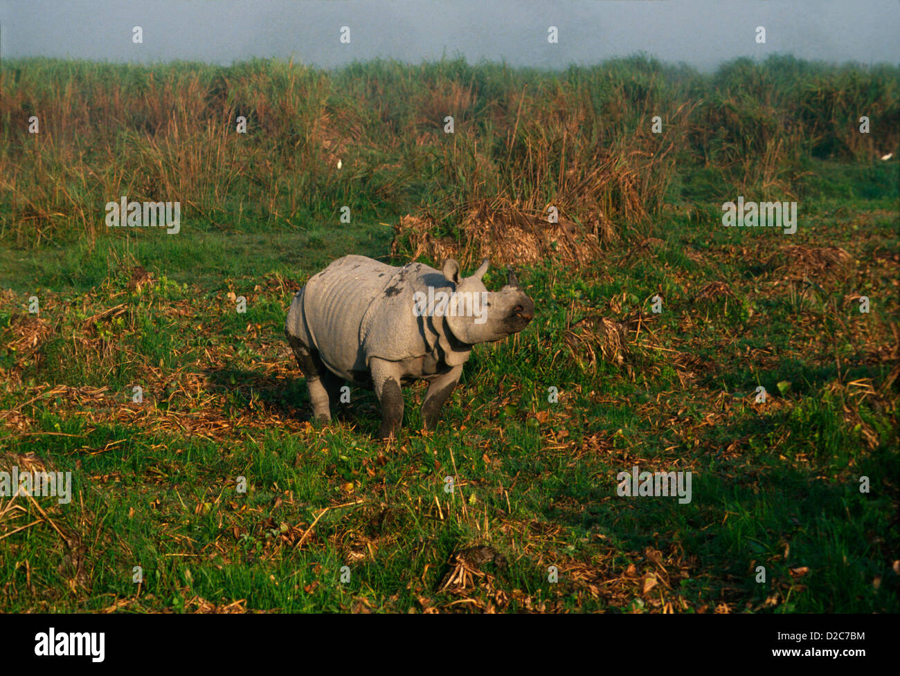 India, Assam, Kaziranga National Park. Endangered Indian Rhinoceros (Rhinoceros Unicornis). - Stock Image