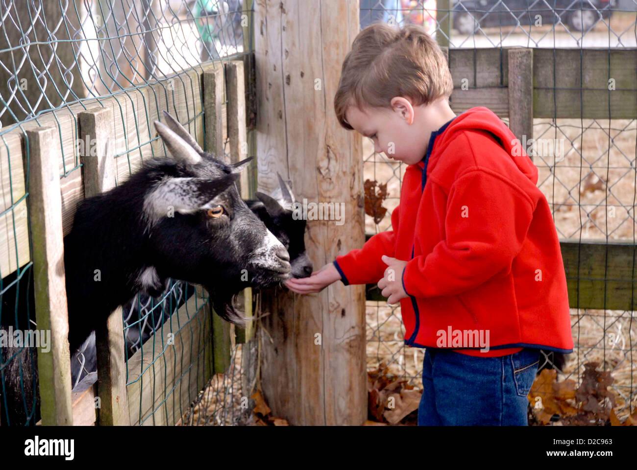2 1/2-Year Old Boy, Massachusetts, Feeding Goat - Stock Image