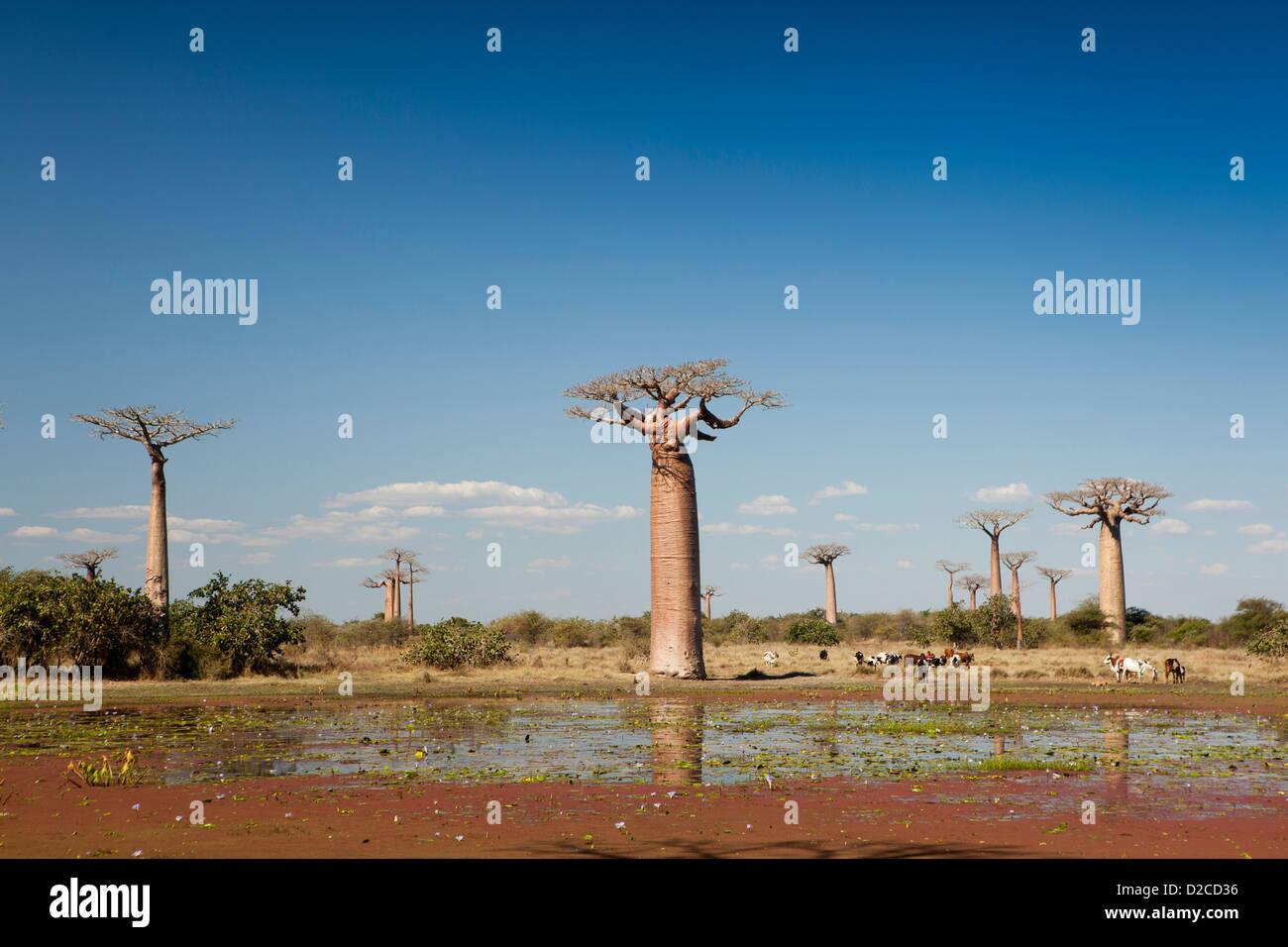 Madagascar, Morondava, Avenue of baobabs, boy grazing cattle at pond below Baobab trees Stock Photo