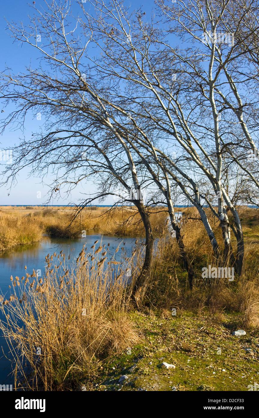 Wetland area with birch trees at the Greek Aegean coast (Pieria, Macedonia, Greece, Europe) Stock Photo