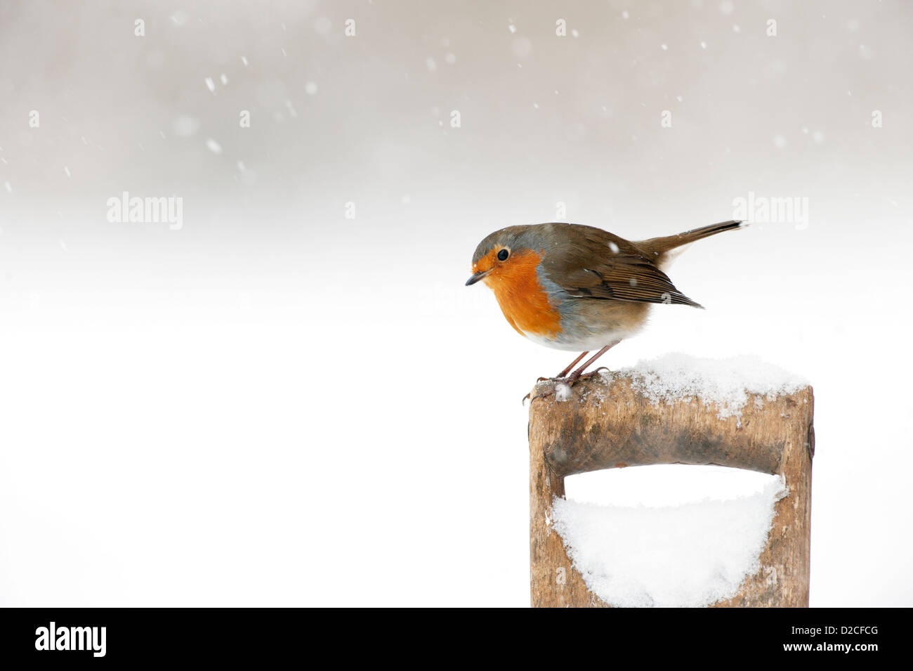 Robin ( Erithacus rubecula) in the snow on an old spade handle Stock Photo