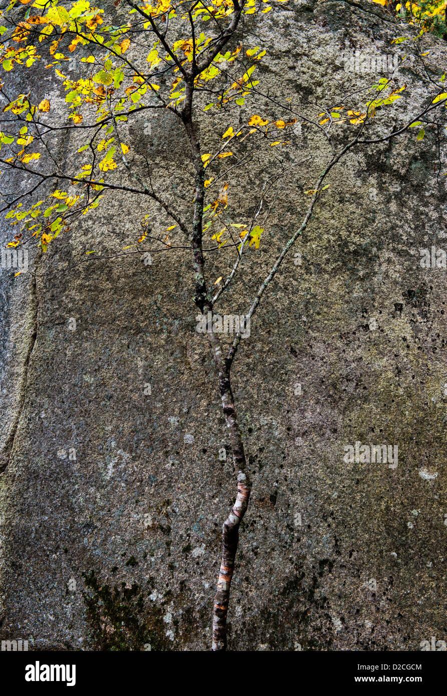 Autumn tree and granite, Acadia, Maine, USA - Stock Image