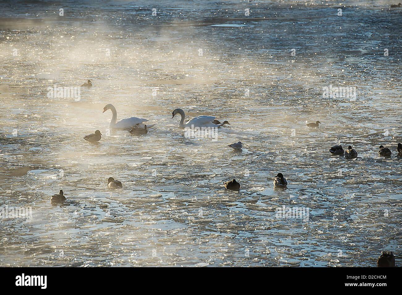 Swan overwintering in Stockholm Sweden - Stock Image