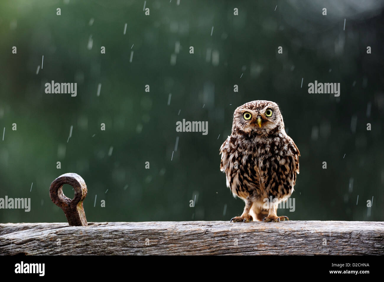 Little owl in the rain (Athene noctua) - Stock Image