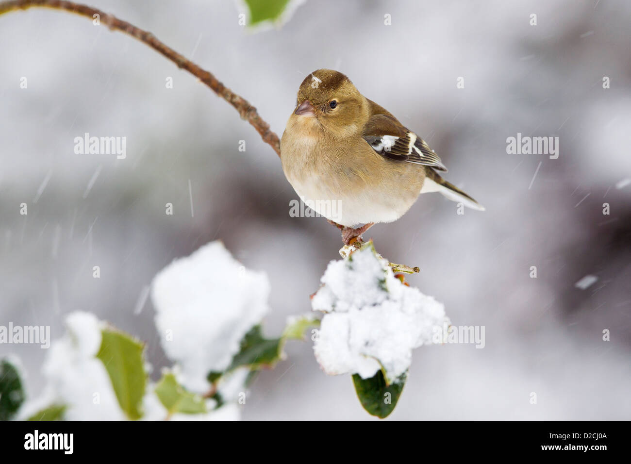 Female Chaffinch in the snow - Stock Image