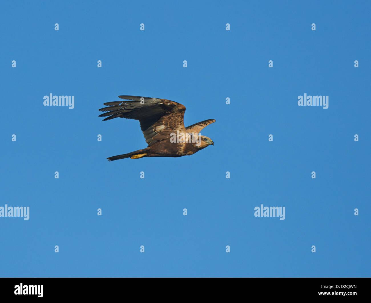 Marsh Harrier in flight Stock Photo