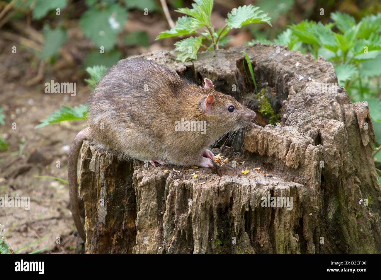 Brown Rat - rattus norvegicus - in Warwickshire, England, UK - Stock Image