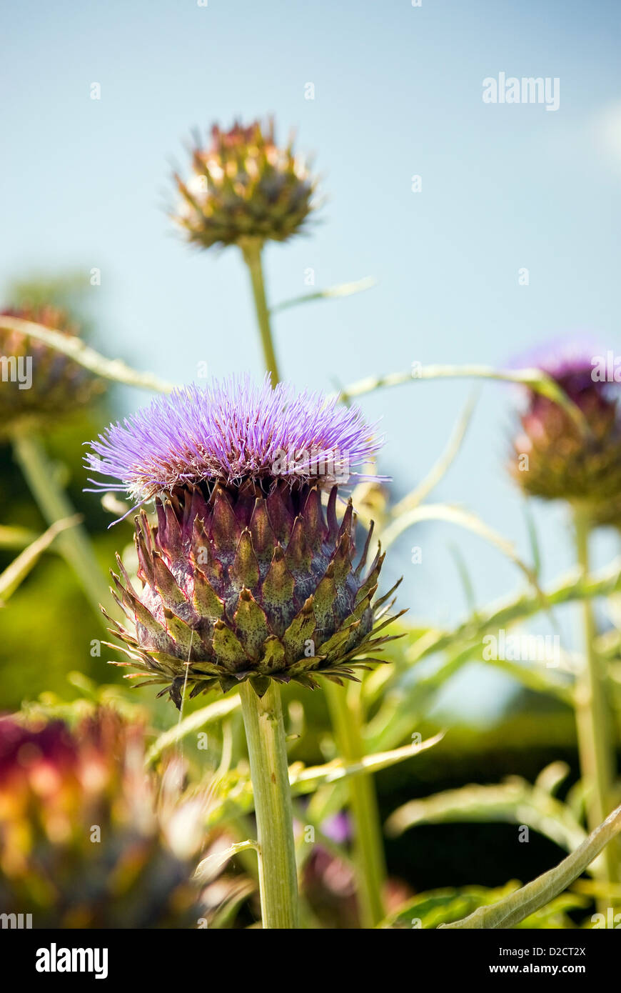 Thistles growing at West Dean Gardens, Chichester, West Sussex, UK - Stock Image
