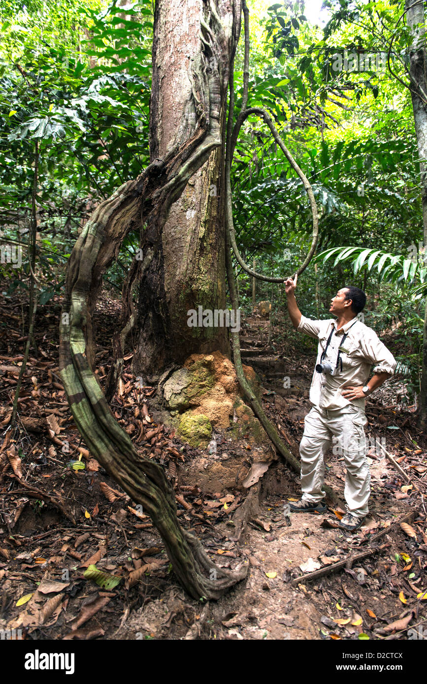 Forest guide health checking trees in then sub tropical rain forest on Gaya island Sabah Borneo Malaysia - Stock Image