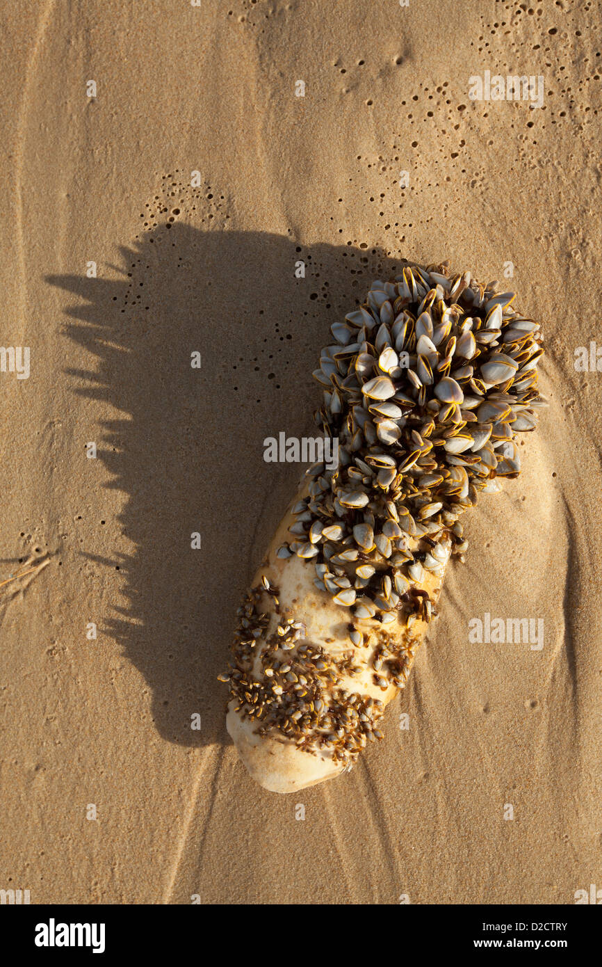 Barnacles washed ashore attached to a cuttlefish. - Stock Image