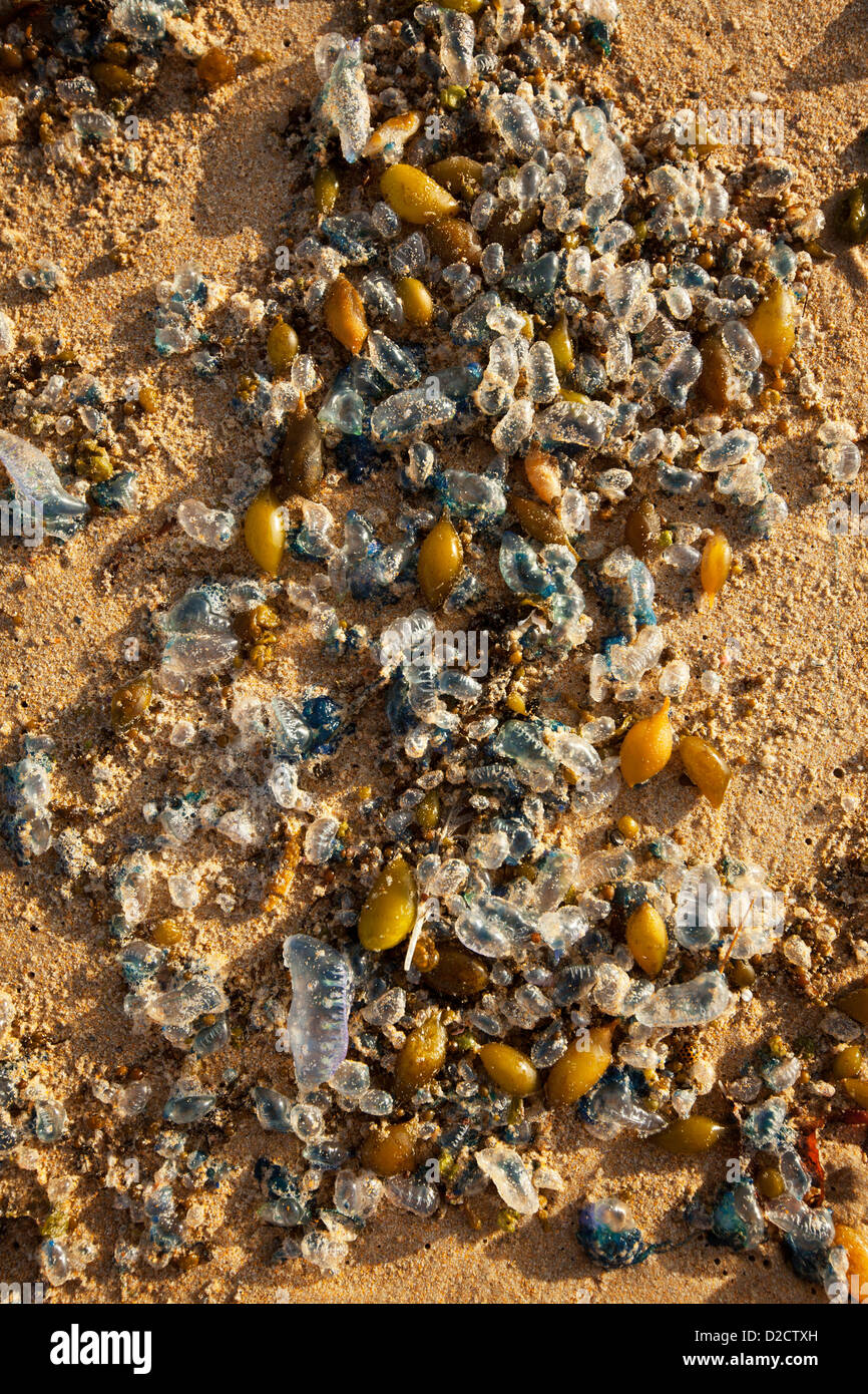 Bluebottles and seaweed washed up on a beach after a storm. - Stock Image