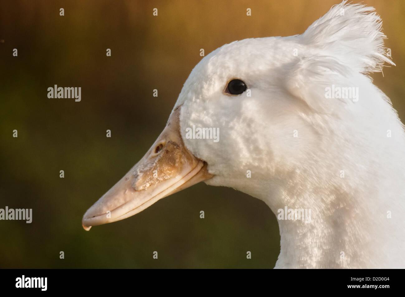 Crested White Duck at Lake Morton in Lakeland, Florida. - Stock Image