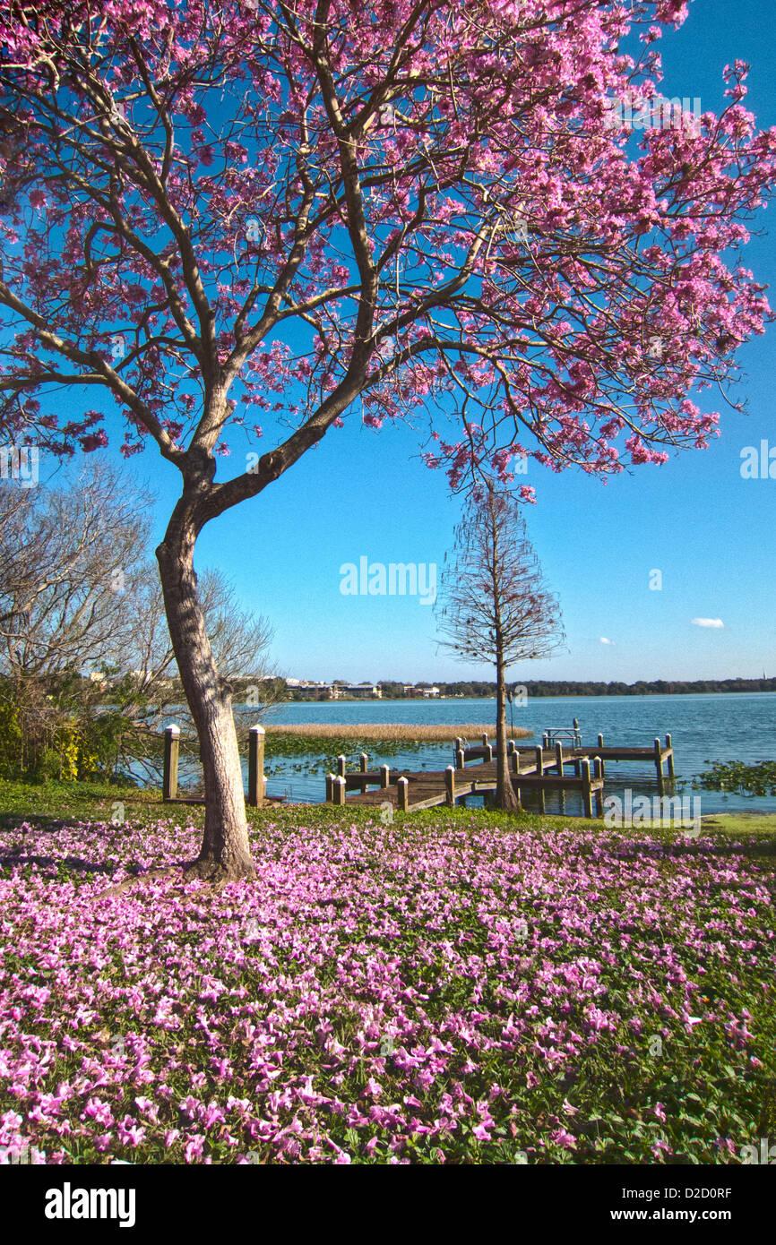 Pink Tabebuia Tree In Blossom Along Lake Hollingsworth In Lakeland